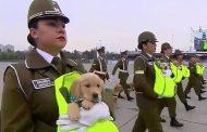 [VIDEO] Una vez más la Escuela de Adiestramiento Canino de Carabineros se roba las miradas en la Parada Militar